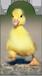 Mágneses könyvjelző kacsa